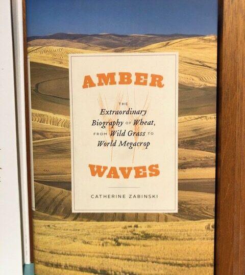 Amber.The Extraordinary Biography of Wheat, from Wild Grass to World Megacrop, av Catherine Zabinski